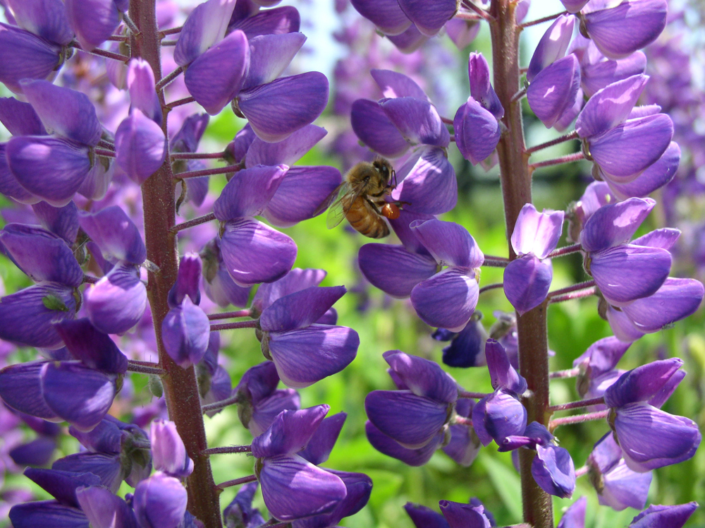 Bee in Lupines