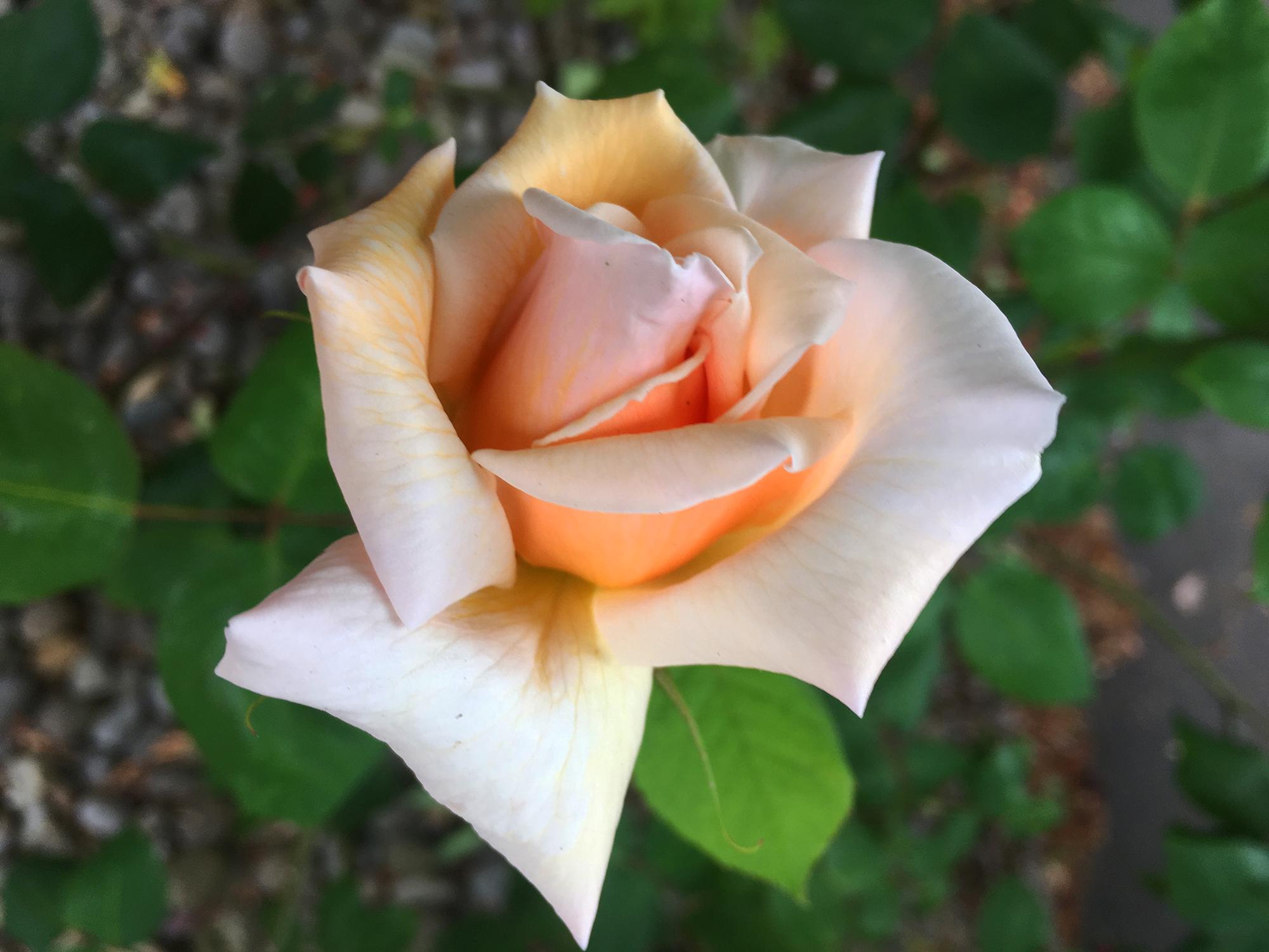 Portland Pink Rose